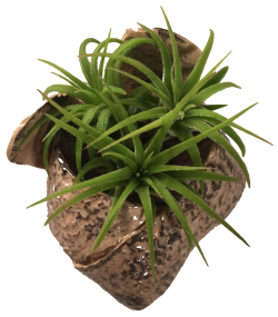 """3"""" ceramic air plant holder with three small air plants."""